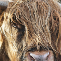 Close up of a highland cow's head.