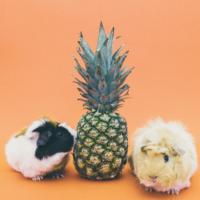Two guinea pigs and a pineapple.