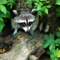 Raccoon on a branch.